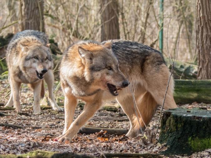 wolf-1226703